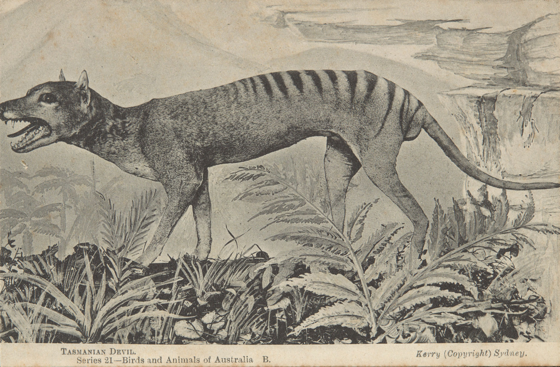 Postcard of a thylacine.
