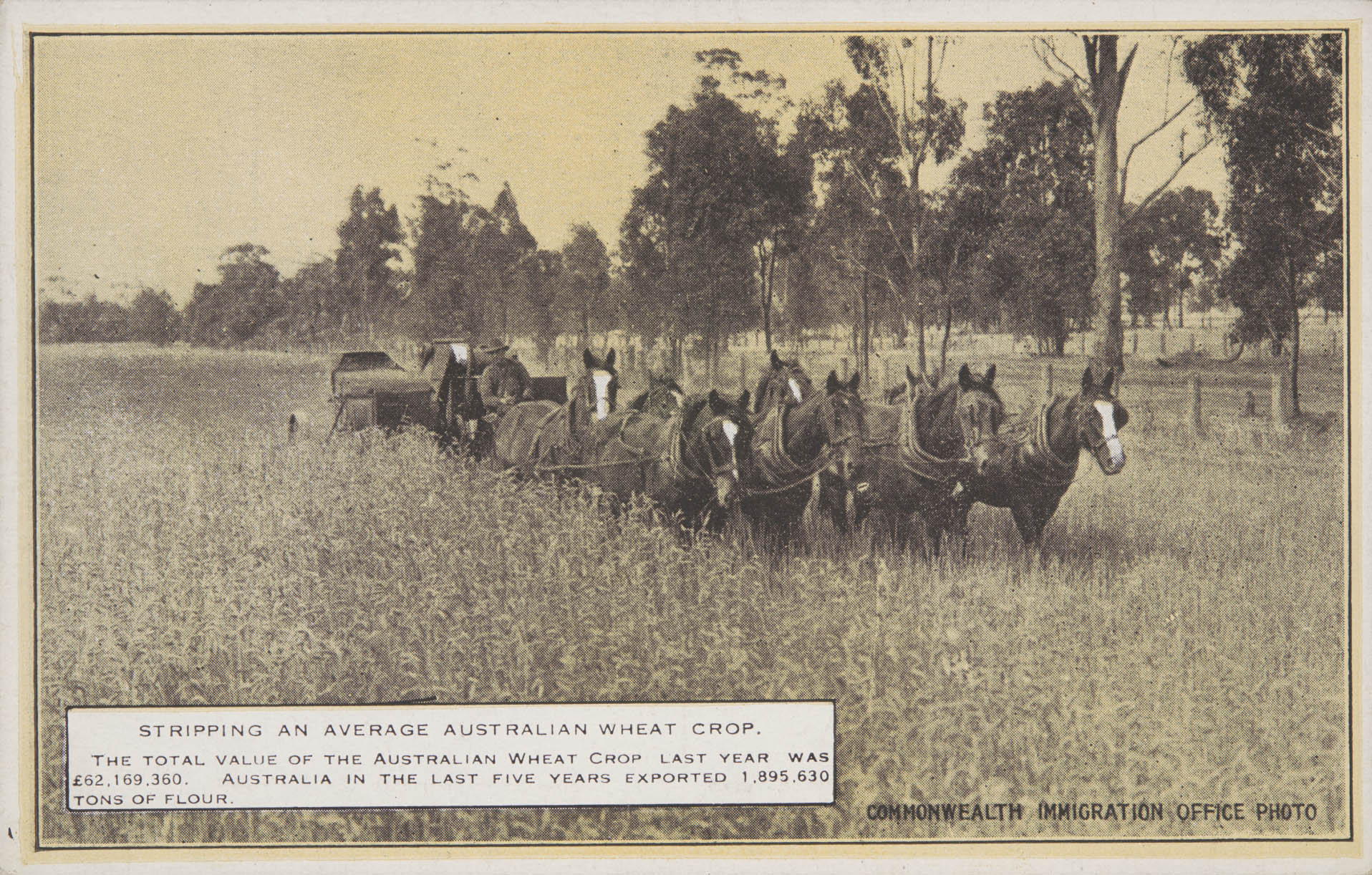 Wheat being stripped (a stripper was a type of harvesting machine used in Australia in the late 1800s and early 1900s).