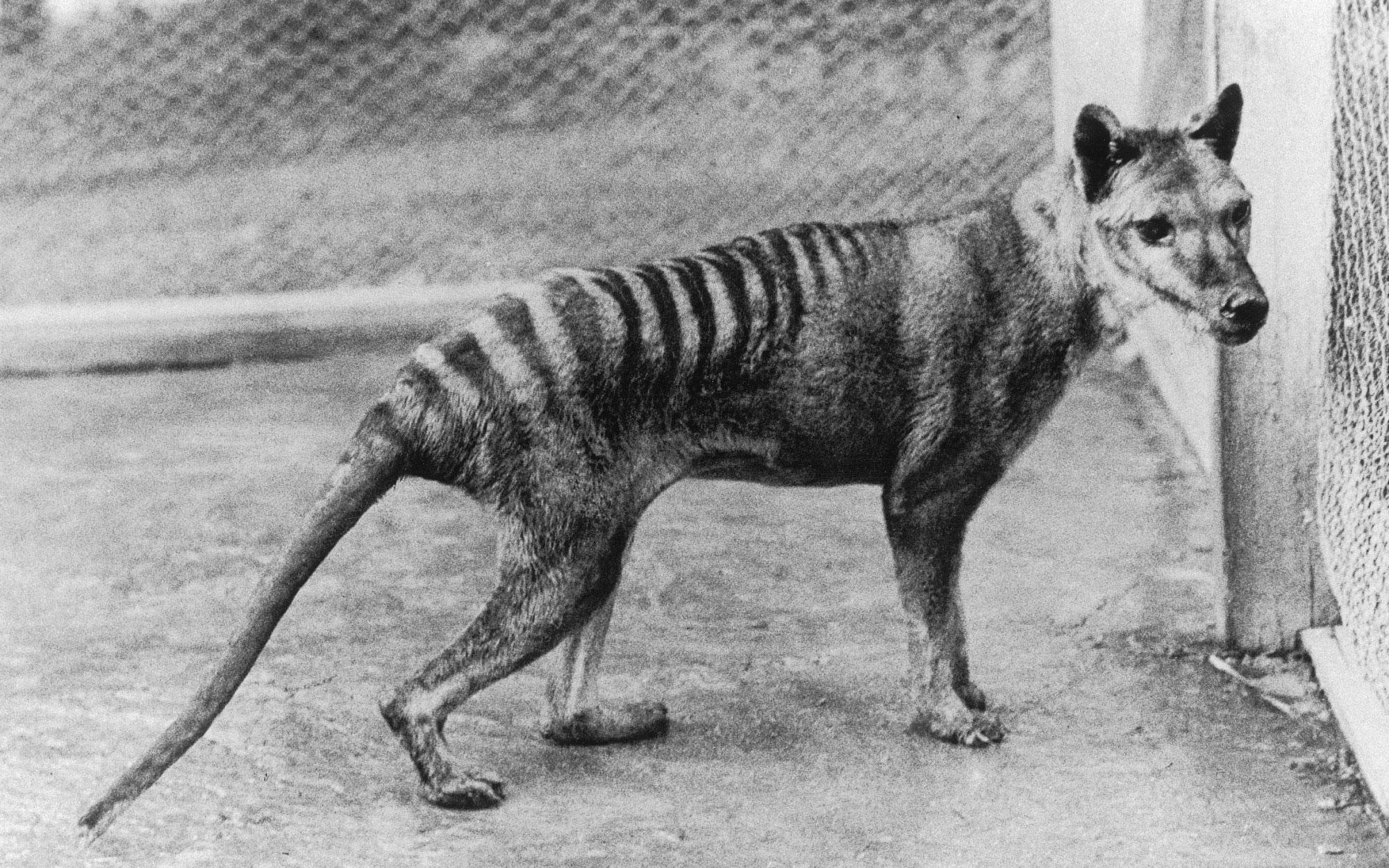 Photograph of a young male thylacine at Beaumaris Zoo, about 1936.